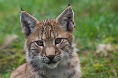 Little Lynx (grasso.gino) Tags: tiere animals natur nature wildpark granat hohemark katze cat kitten luchs lynx portrait nikon d5200 niedlich cute jung young