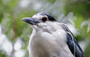 Black-crowned night heron (Millie Cruz (On and OFF)) Tags: soe blackcrownednightheron nightheron nature bird zoo bronxzoo newyork bokeh portrait closeup tamron18400