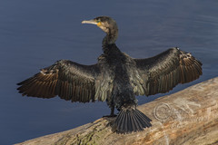 _IMG2719 Cormorant - Phalacrocorax carbo (Pete.L .Hawkins Photography) Tags: cormorant phalacrocorax carbo river dee fishing bird green waterbird petehawkins petelhawkinsphotography petelhawkins petehawkinsphotography pentax pentaxpictures pentaxk1 fantasticnature fabulousnature incrediblenature naturephoto wildlifephoto wildlifephotographer naturesfinest unusualcreature naturewatcher pentaxda300mm
