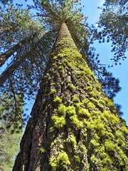 Redwood Giant (moonjazz) Tags: trees redwoods california giant tallest lichen green up nature tall forest king mendocino closeup facts science botany color photo high environment sierraclub