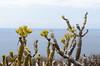 Kleinia neriifolia (Verode) (sillie_R) Tags: kleinianeriifolia landscape plant succulent tenerife verode arona canarias spain es