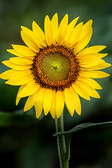 Perfect Sunflower 3-0 F LR 7-22-17 J108 (sunspotimages) Tags: flower flowers sunflowers sunflower nature flora yellowflowers yellowflower yellow yellowsunflower yellowsunflowers