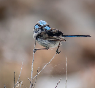 Superb Blue Fairy Wren - Malurus cyaneus