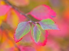 Neon (Karsten Gieselmann) Tags: 60mmf28 blätter bokeh dof em5markii grün herbst jahreszeiten mzuiko microfourthirds olympus orange rot schärfentiefe autumn fall green kgiesel m43 mft red seasons