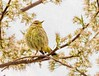 Spring Beauty (Wes Iversen) Tags: chicago illinois montrosepointbirdsanctuary palmwarbler setophagapalmarum tamron150600mm bird blossoms branches buds digitalart painterly