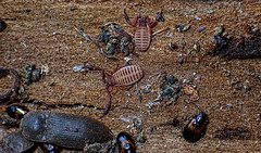 Pseudo scorpions and company (gadims) Tags: insects tasmania centralhighlands