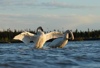 Cygnes Trompette - Trumpeter Swan