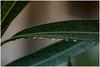 it's raining  finally !!! (miriam ulivi) Tags: miriamulivi nikond7200 italia liguria sestrilevante foglie leaves pioggia rain gocce drops verde green nature macro 7dwf