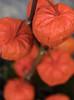 Lanternes chinoises (take a look through my eyes ;)) Tags: fleurs flowers orange lanterne nature blumen flores fiori bokeh profondeur de champ rural jasmine lanterna linterna laterne lykt depth field physalis