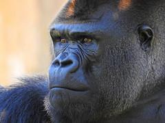 Gorila-ocidental-das-terras-baixas / Western lowland gorilla (Gorilla gorilla gorilla) (Marina CRibeiro) Tags: portugal lisbon lisboa zoo gorila primata primate gorilla
