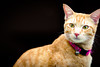 The best of times with Joey. 😺 (stratman² (2 many pix!)) Tags: canonphotography eos450d ef85mmf18usm littlejoey catmoments orangecats gato kitteh shallowdof domesticshorthair primelens chat flickrelite kucingcomel felinephotography creativecommons