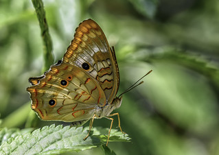 A White Peacock Butterfly