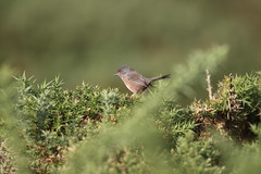 Dartford warbler (roger_forster) Tags: dartford warbler sylviaundata browndown gosport hampshire hiwwt gorse wild bird