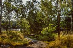 RIVERSIDE WALKWAY #3 (len.austin) Tags: australia australianplants bluegums brisbaneriver bushwalk eucalyptusteretecornis grass landscape queensland westlake