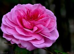 """Weekend Rose  """"Gertrude Jekyll"""" (Eleanor (No multiple invites please)) Tags: rose pinkrose gertrudejekyll busheyrosegarden bushey herts uk nikond7200 105mmmmacrolens october2017"""