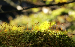 In the Moss. (Rambolive) Tags: nature plants norway vollom beechforrest moss mose