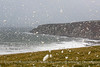 Storm Brian (doublejeopardy) Tags: otherkeywords shelter sheep gale storm field spume stormbrian wave surf water sea cornwall whitewater waves porthleven england unitedkingdom gb