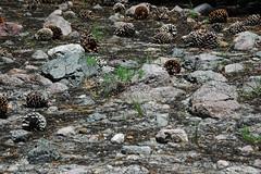 Volcanic debris flow deposit (upper Holocene, May 1915; Devastated Area, Lassen Volcano National Park, California, USA) 13 (James St. John) Tags: devastated area volcanic debris flow deposit 1915 mt lassen peak volcano national park california cascade range