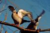 duo punks (.. curiosity ..) Tags: nature bird blue sky dove peace duo two dance motion joy sunny angrybird brother buddy friend