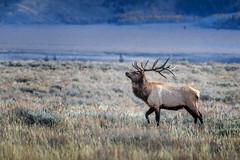 Bull elk in Grand Teton National Park, Wyoming (diana_robinson) Tags: bullelk grandtetonnationalpark wyoming elk wildlife nature jackson