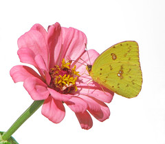 Cloudless sulphur in pink - yesterday (Vicki's Nature) Tags: cloudlesssulphur female yellow big butterfly pink zinnia flower blossom highkey yard georgia vickisnature canon s5 0913 101217