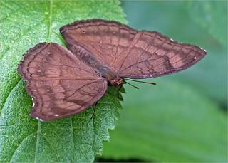 Chocolate pansy (Junonia iphita)