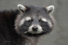 Wasbeertje (K.Verhulst) Tags: wasbeer wasbeertje raccoon beer blijdorp blijdorpzoo diergaardeblijdorp rotterdam bear