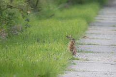 Haas (judithvanagthoven) Tags: nederland nature natuur canon 7dmarkii sigma150500mm haas holland voorjaar zoogdieren haasachtigen en konijnen