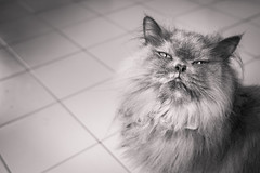 Beauty is in the eye of the beholder (stratman² (2 many pix!)) Tags: canonphotography eos450d ef28mmf18usm cat felineportraits bw monochrome blackandwhite portrait animal catmoments chat persiancats kucing comel gato neko katzen cc100