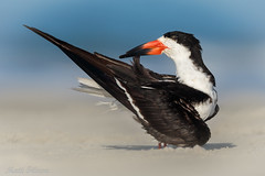 Black Slimmer (Matt F.) Tags: black skimmer bird wildlife