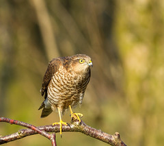 Sparrowhawk (Nigey2) Tags: