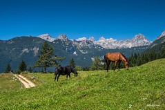 Horses in the Alpine meadow (zkbld) Tags: horse happy animal mammal domestic farm mare face muzzle mane hide fur sky blue nature alpine meadow pastures farming green tree forest pine planina uskovnica bohinj gorenjska triglavnationalpark slovenia europe centraleurope mountain alps julianalps peaks landscape scenic landmark view hdr season tranquility travellocations vacations summer tradition ecology environmental preservation