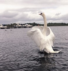 (staceygallagher2) Tags: ireland pose scenic feather park loughkey wings motion water capture cool lake animal bird swan