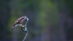 Oh no, it is starting to rain... (CecilieSonstebyPhotography) Tags: norway bokeh october raindrops sparrowhawk rain eye markiii canon5dmarkiii bird autumn høst canon fall 150600mmf563dgoshsmsports014 branch specanimal ngc npc