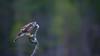 Oh no, it is starting to rain... (CecilieSonstebyPhotography) Tags: norway bokeh october raindrops sparrowhawk rain eye markiii canon5dmarkiii bird autumn høst canon fall 150600mmf563dgoshsmsports014 branch specanimal ngc npc