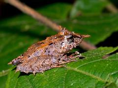 Pinocchio Rainfrog (Eerika Schulz) Tags: pinocchio rainfrog pristimantis appendiculatus mindo ecuador eerika schulz