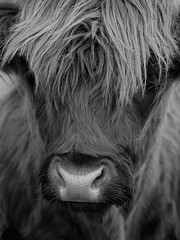 """The Benefits of a Fringe (Say """"Wasabi"""") Tags: highlandbull olympus m43 omdem5ii mzuiko40150 wildlife bull fringe animal mono blackwhite scotland hebrides harris cattle"""