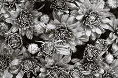 Mums in b/w (norasphotos4u) Tags: flowersplants canonef100mmf28lisusmmacro monotone social macro canon6d ©noraleonard 100x2017