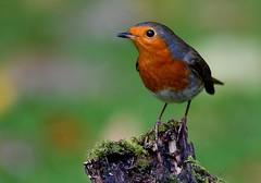 A little rob (davy ren2) Tags: garden robin red nikon d500 photograthy wildlife