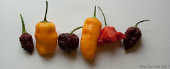 different-varieties-to-grow-indoors-in-pots (TheChili.Life) Tags: chilli chili peppers capsicum