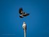 My pole mate!! (Beckett_1066) Tags: birds hawkesbury redbank kite pee wee