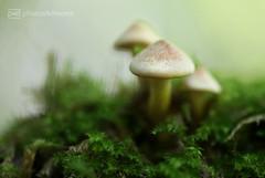 forest 21.08.2017 -p4d- 030 (event-photos4dreams (www.photos4dreams.com)) Tags: forest21082017p4d gersprenz landschaft münster hessen photos4dreams p4d photos4dreamz susannahvvergau nature natur fungus fungi pilz pilze mushroom mushrooms