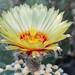 Astrophytum cactus flower