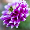 """Autumn is a second spring when every leaf is a flower.""  ― Albert Camus (icarium82) Tags: garden plant flower sonydscrx1rm2 nature garten pflanze bokeh colors green violet"