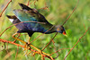 feet get in the way (Dianne M.) Tags: purple gallinule nature outside climbing yellow feet lake leegsburg florida