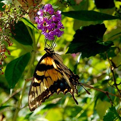 Butterfly In The Shadows (redhorse5.0) Tags: butterfly flower garden insect redhorse50 sonya850