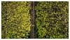 In Between (amanessinger) Tags: austria manessingercom villach carinthia tree kärnten