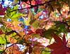 Leaf peeping! (vietnamvera) Tags: westonbirtarboretum autumncolour autumn autumnleaves trees acers acerleaves leaf leaves