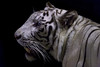 Apollo ♂ -  Nachtjäger (Belteshazzar (AKA Harimau Kayu)) Tags: apollo tiger zoo animal bigcat bigcats feline bengaltiger pantheratigristigris königstiger indischertiger eltigredebengala tigredubengale latigrerealedelbengala бенгальскийтигр 孟加拉虎 whitetiger weisertiger tigreblanco tigreblancroyal белыйтигр 孟加拉白虎 zooshot tobu tobuzoo snowwhite mirrormirror babytiger baby kid keddo