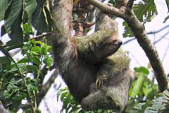 Sloth/ Faultier/ La Fortuna II (sandrella2706) Tags: costarica lafortuna mysticopark elarenal centralamerica